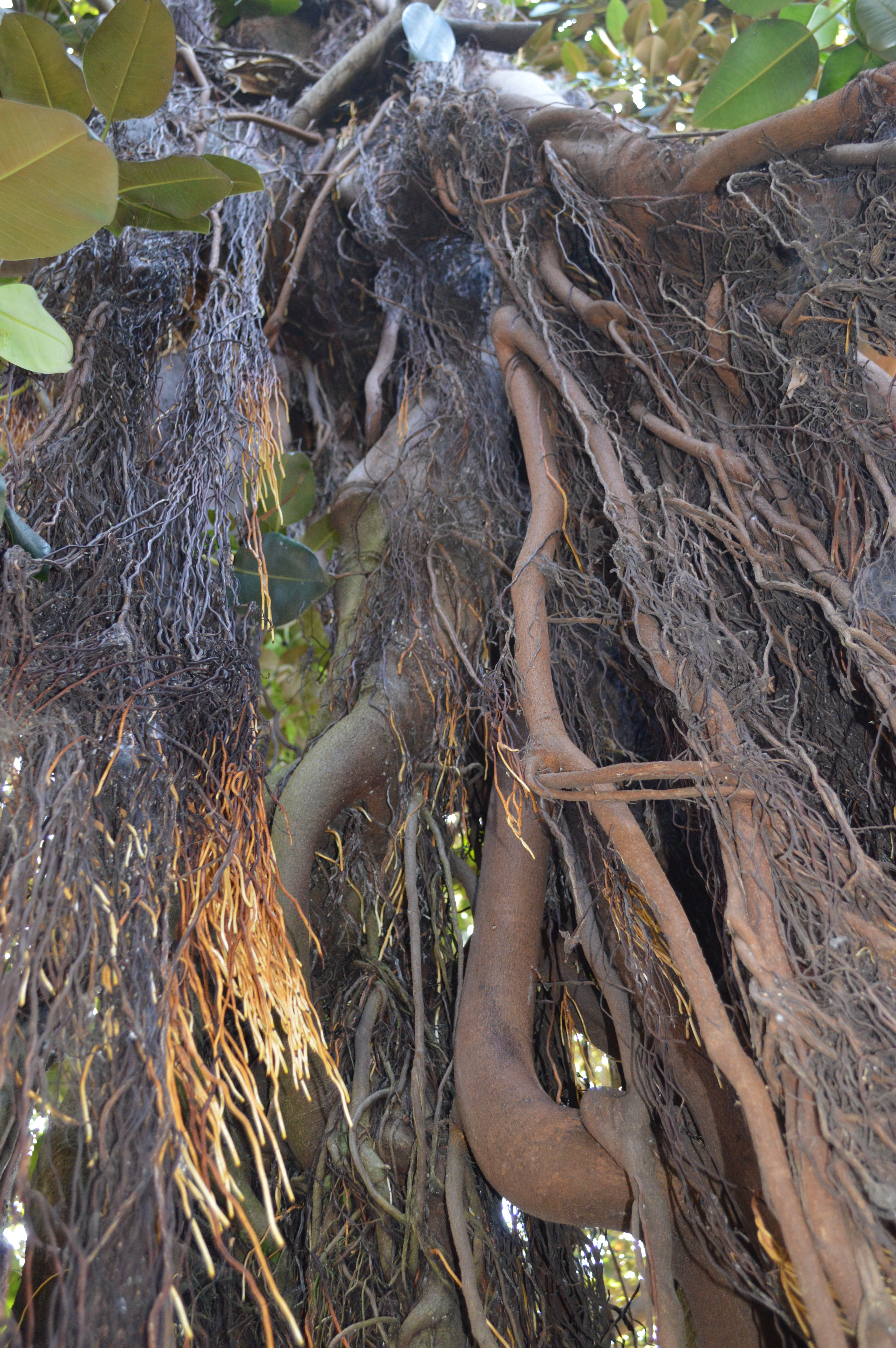 Weeping Ficus, Up Close & Manly!